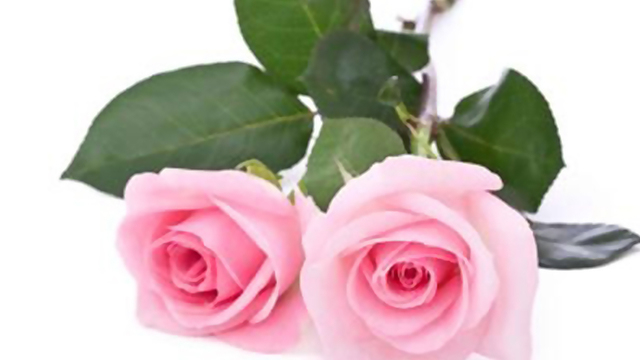 pink-roses-valentines-day-flowers_1515776493899_332004_ver1-0_31508321_ver1-0_640_360_841510