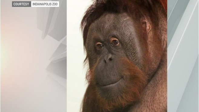 Indianapolis Zoo mourns death of orangutan