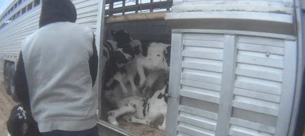Cow abuse_1559820317232.PNG.jpg