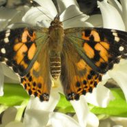 Painted Lady Butterflies for Butterfly Release