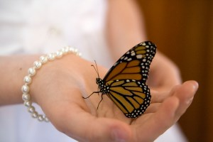 Monarch butterfly for butterfly releases