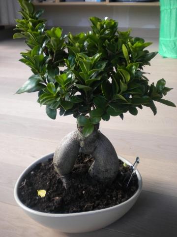 bonsaivoor