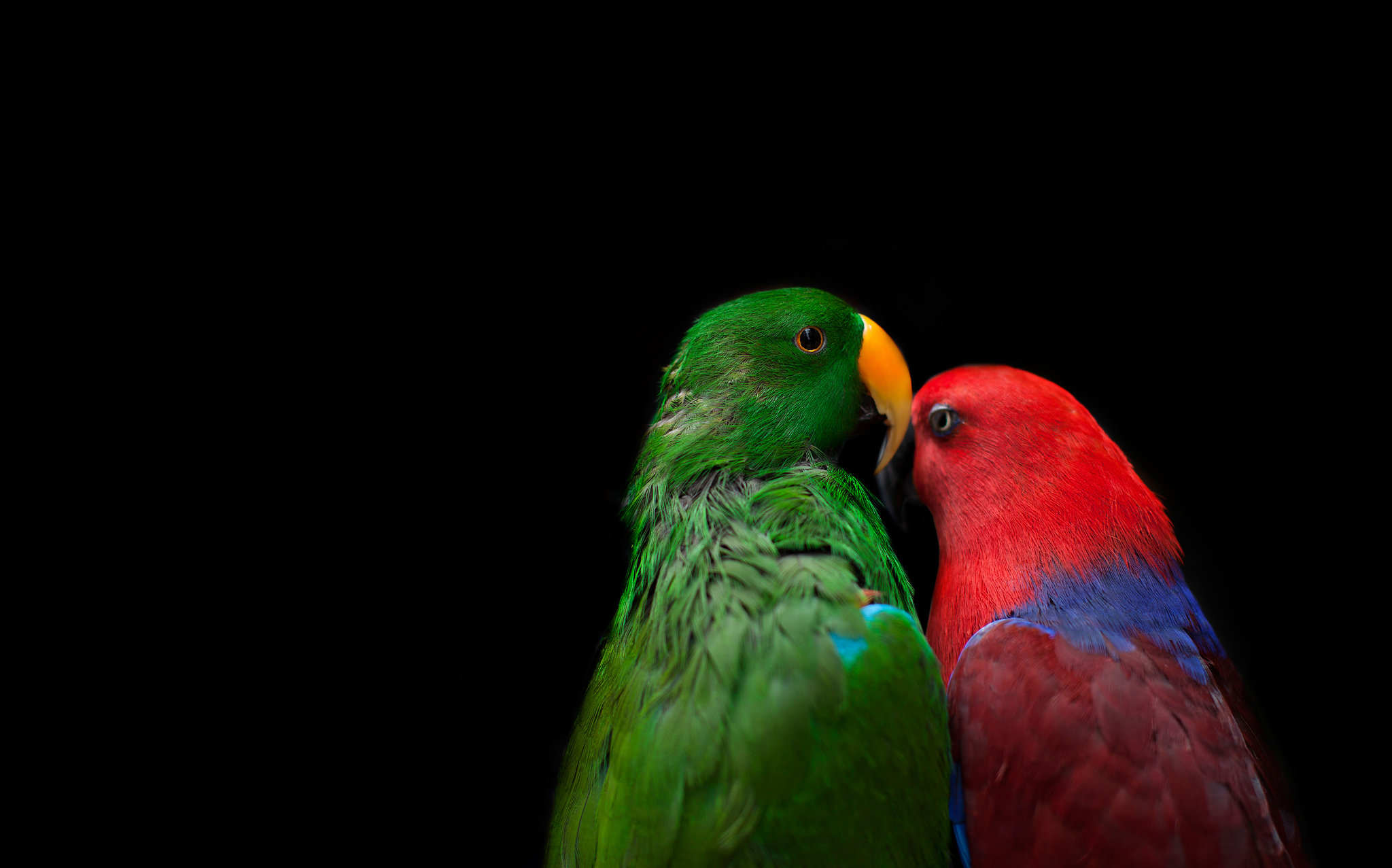 Secrets of the domestication of the hands of wavy parrots