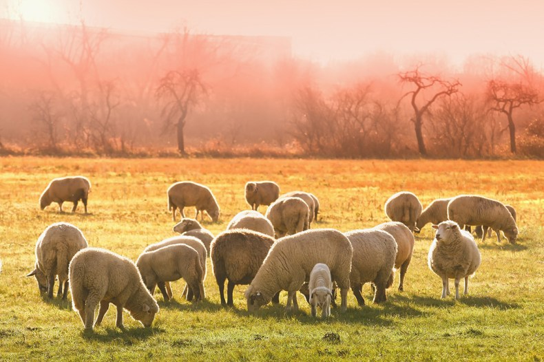 Sheep grazing in the countryside
