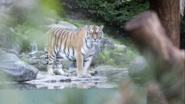 Tragedy as 55-year-old female zookeeper reportedly mauled to death by Siberian Tiger