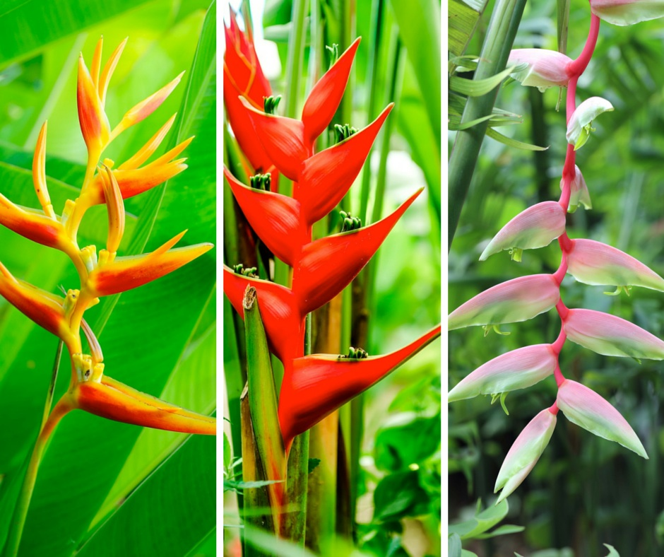 Hawaiian Flower Buying Guide From With Our Aloha mixed heliconia flowers