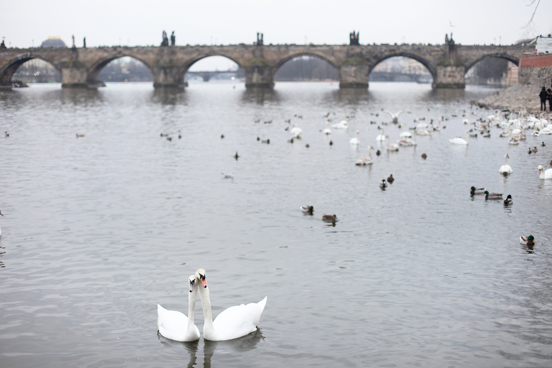 Swans in Charles bridge Prague