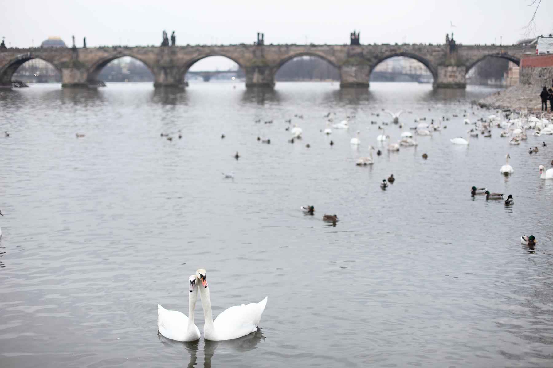 Swans in Charles bridge Prague