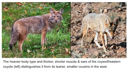 eastern and western coyotes