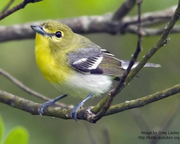 Yellow throated vireo fall - photo#37