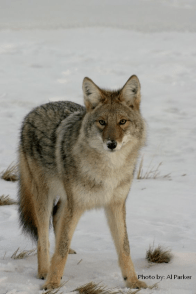 Eastern coyote in snow