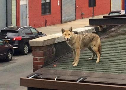 A coyote spotted on the roof of L.I.C Bar on Vernon Blvd. in Queens, March 30, 2015. Photo by Caitlin Cahill