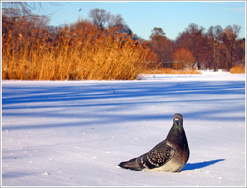 pigeon blog, pigeon in the snow