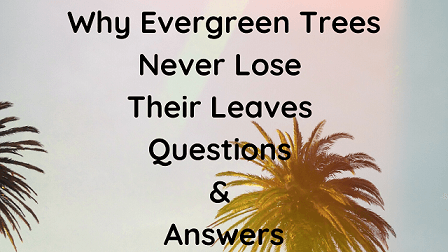 Why Evergreen Trees Never Lose Their Leaves Questions & Answers