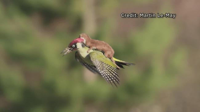 Woodpecker_102654