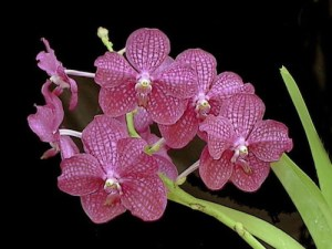 pink-orchid-flower