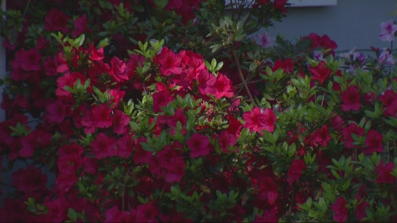 Early blooms to be tested by cold snap