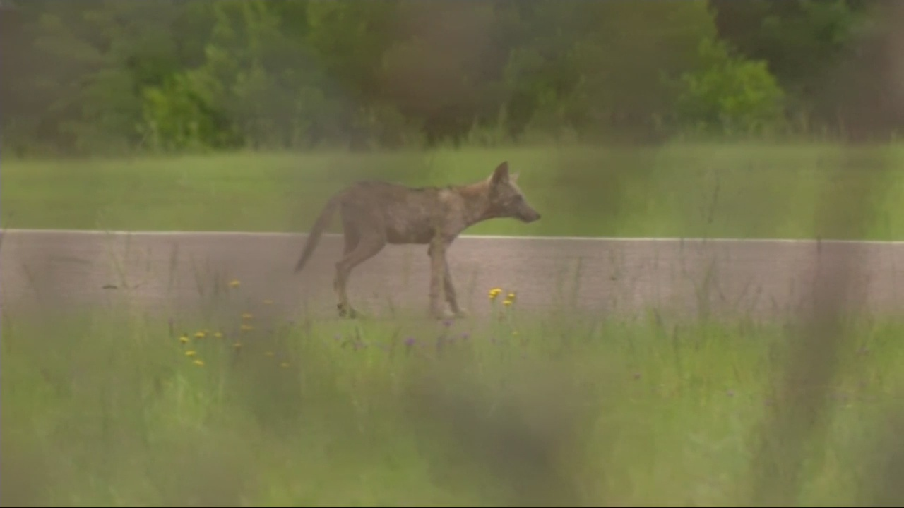 Coyotes taken out at airport and golf course