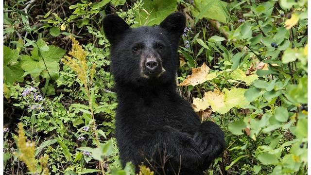 black-bear-949012_1920_30930251_ver1.0_640_360_1535986149062.jpg