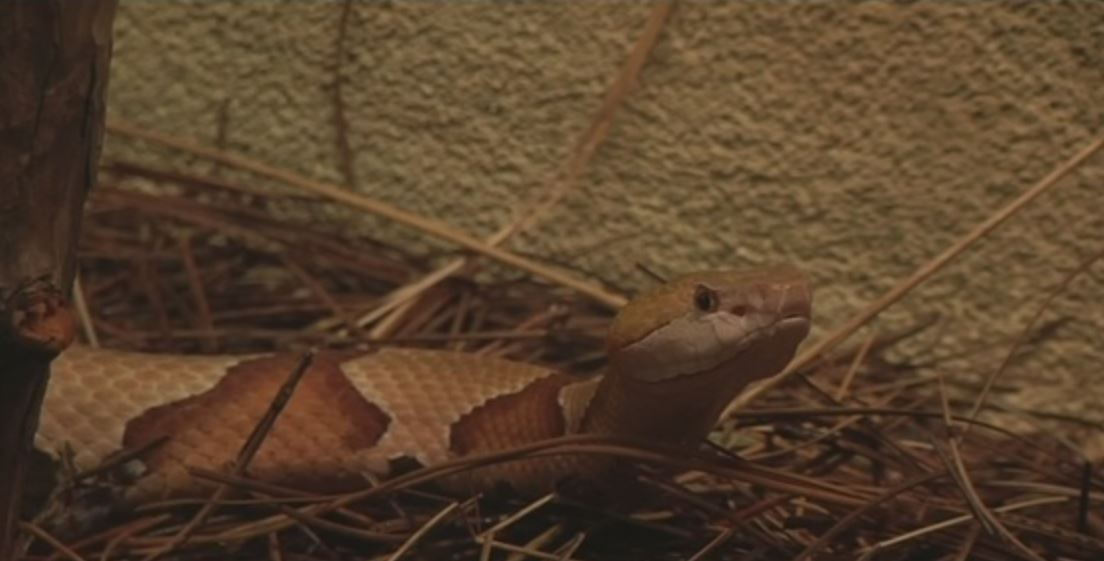 SC hospitals and veterinary offices see uptick in snake bites