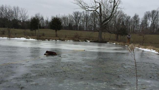 calf-on-ice_103241