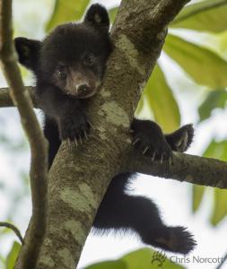 bear-cub_148423