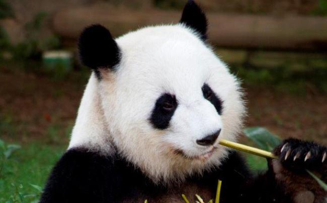 lun-lun_zoo-atlanta-crop_198559