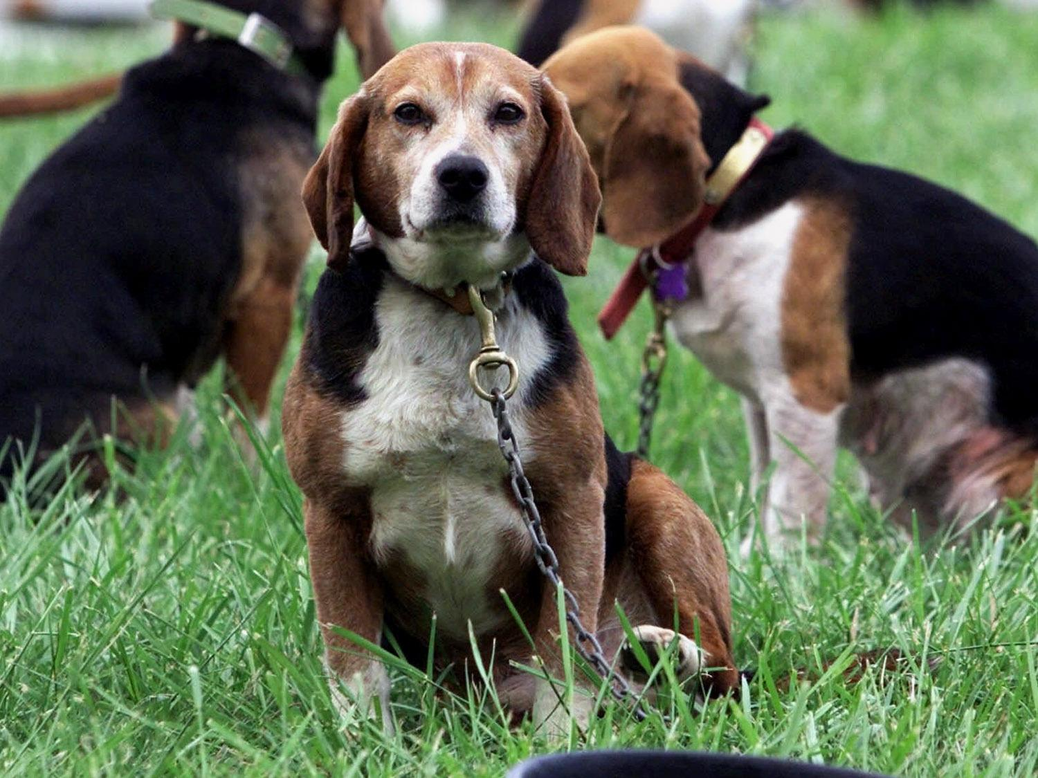 Beagles Hunting Dogs_273400