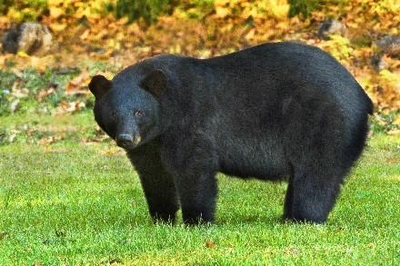 black-bear NC_1561470431687.jpg.jpg