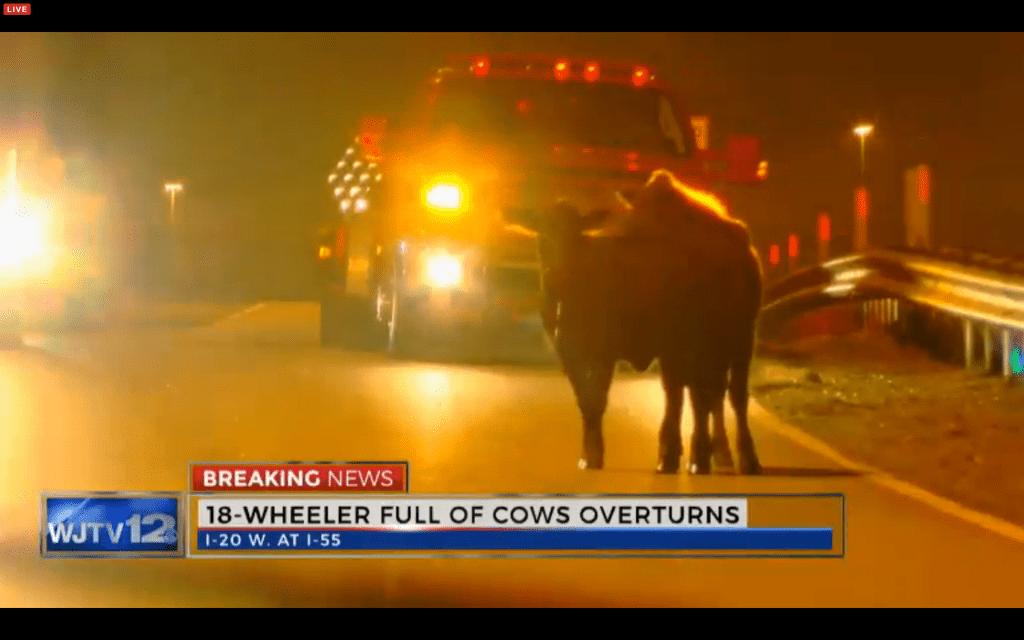 cows 18wheeler_109218