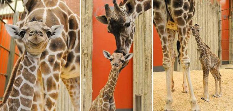 Dobby the giraffe_291319