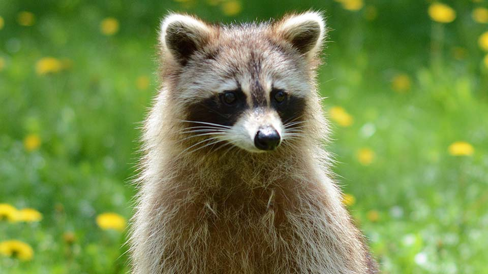 A raccoon standing in a field.
