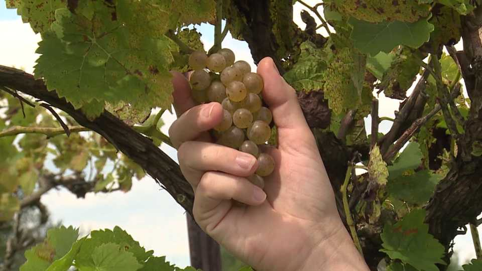 Wet growing season hits Mastropietro Winery in Berlin Township hard