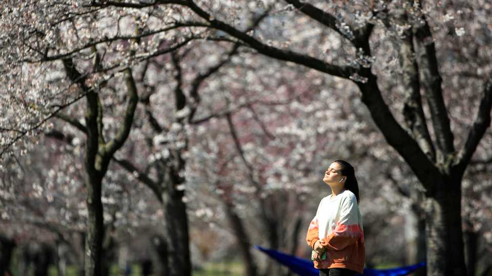 In this March 26, 2020, photo, a person takes in the afternoon sun amongst the cherry blossoms along Kelly Drive in Philadelphia. For millions of seasonal allergy sufferers, the annual onset of watery eyes and scratchy throats is bumping up against the global spread of a new virus that produces its own constellation of respiratory symptoms. That's causing angst for people who suffer from hay fever and are now asking themselves whether their symptoms are related to their allergies or the new coronavirus.