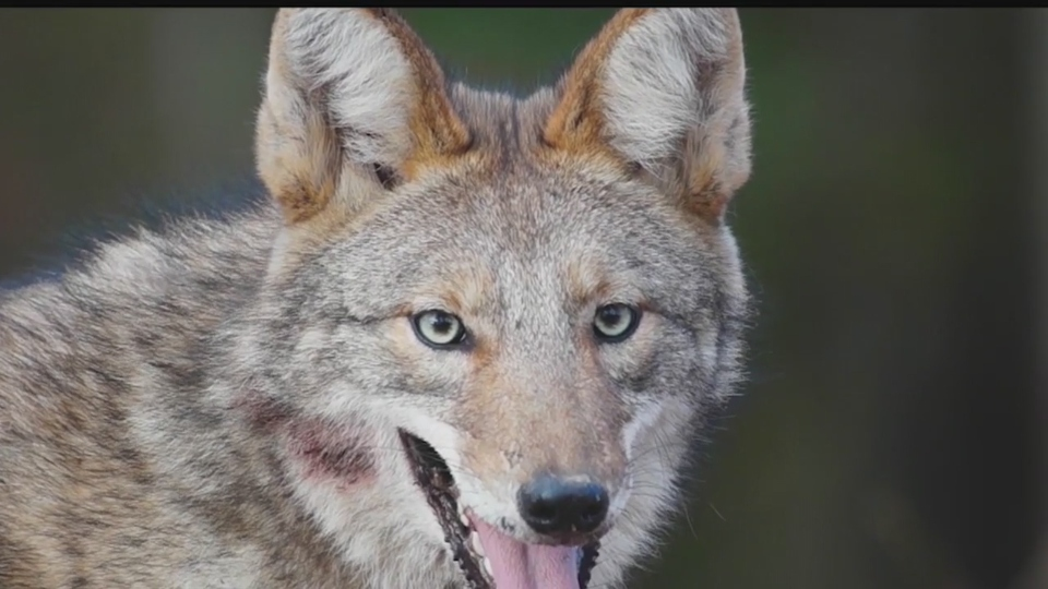 Coyote population, Mahoning Valley.