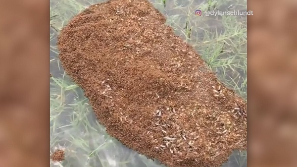 FIRE ANT CLUMP_402691