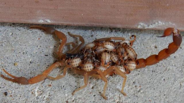 scorpion mom_1531955901653.JPG_48966694_ver1.0_640_360_1531972333346.jpg.jpg