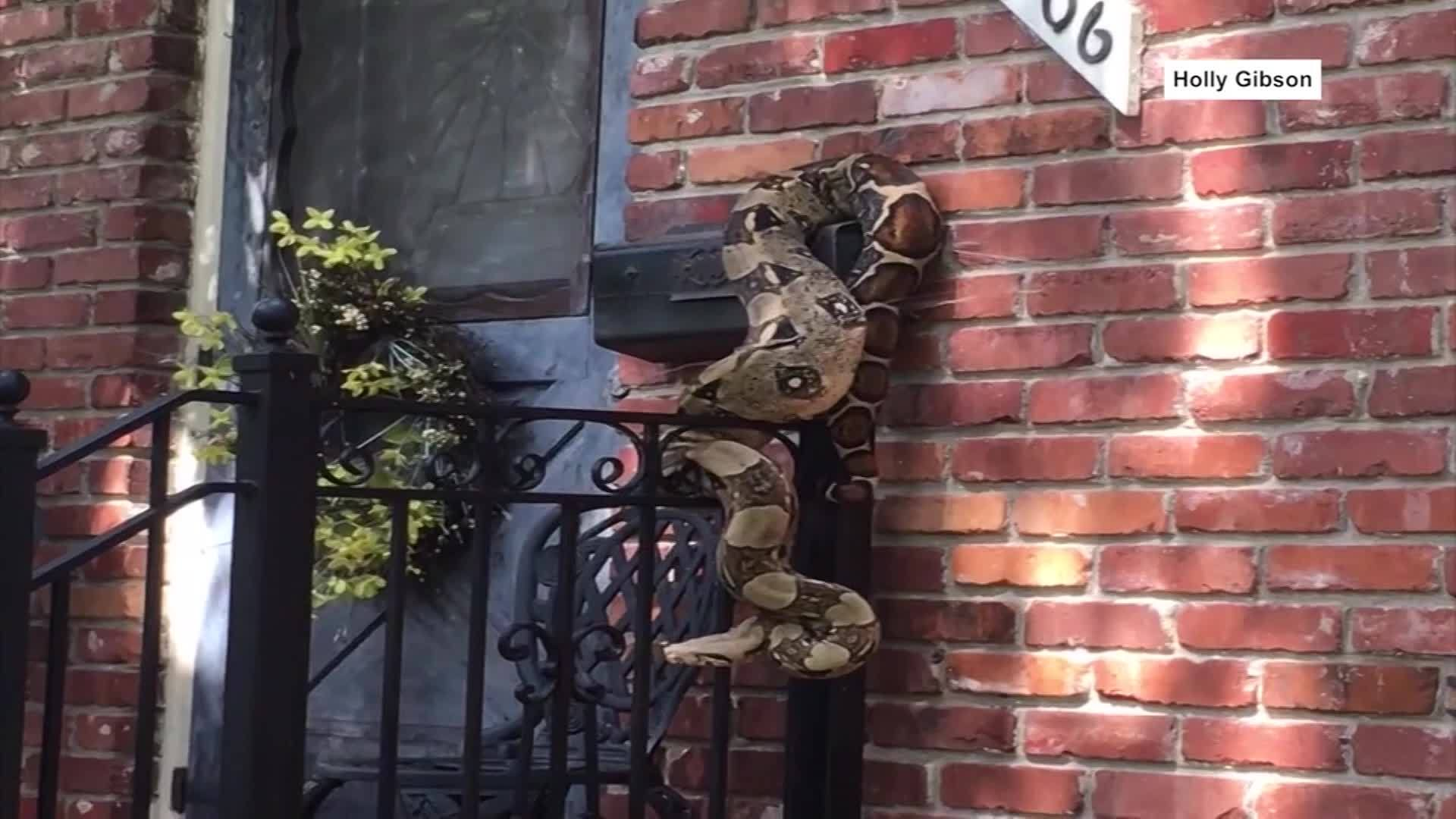 VIDEO: Mailman finds huge boa constrictor wrapped around mailbox
