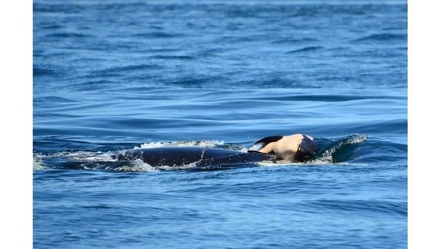 center for whale research dead orca_1532987603642.jpg_50174709_ver1.0_640_360_1534110267182.jpg.jpg