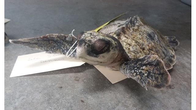 sea turtle deaths 1_1543116152162.jpg_63097365_ver1.0_640_360_1543117160990.jpg.jpg