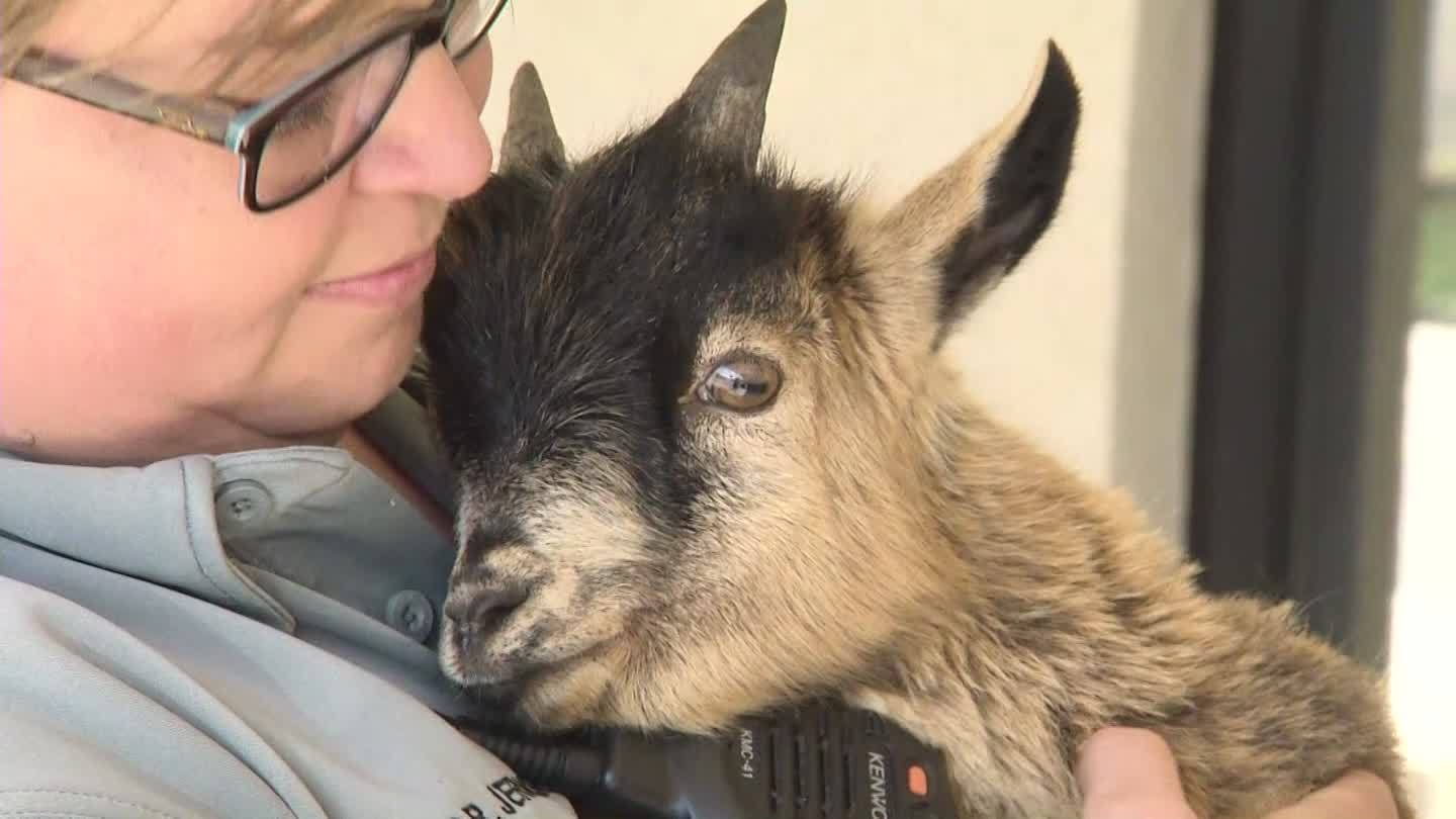 Runaway goat detained in Bay Minette