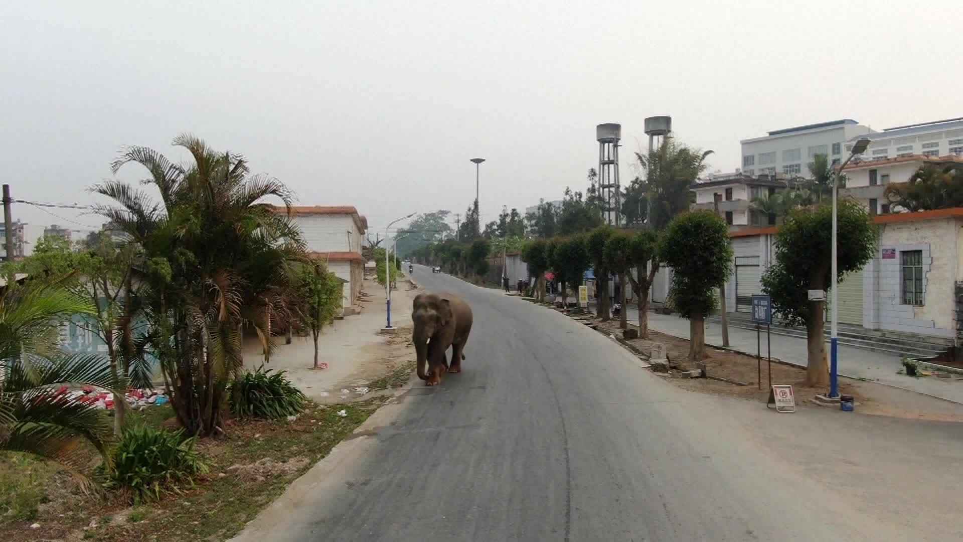 Video: Elephant loose in streets