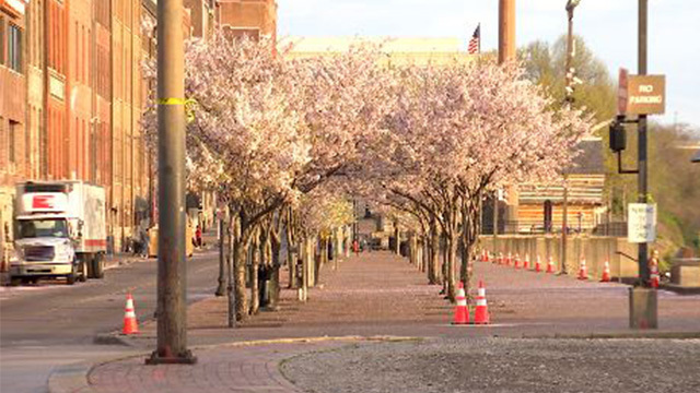 cherry blossom trees web_1553961302823.jpg_79823215_ver1.0_640_360_1553964005377.jpg.jpg