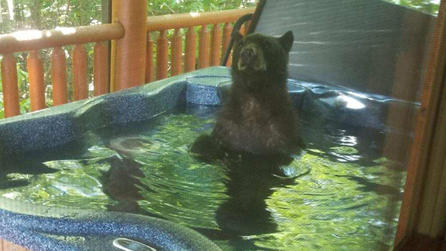 Bear in hot tub 3