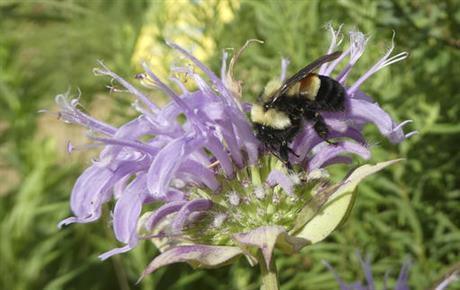 bumblebee_368528