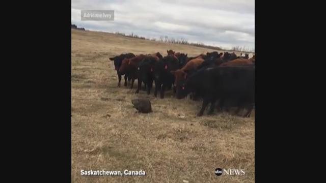 Beaver herds cattle_402019