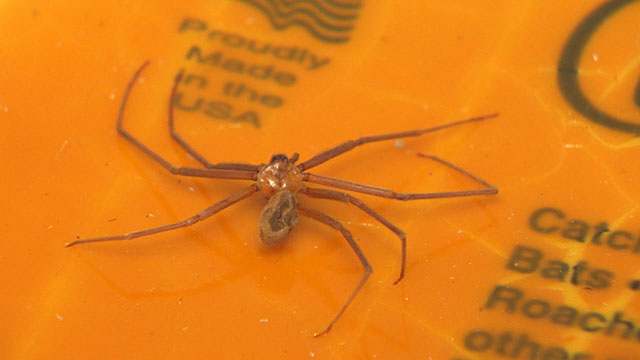 Brown recluse_416586
