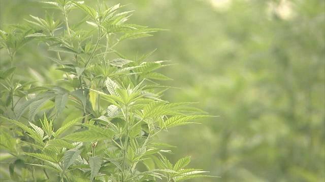 hemp marijuana generic