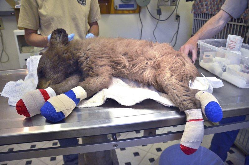 Bear cub burnt paws_1530321925861.jpeg.jpg