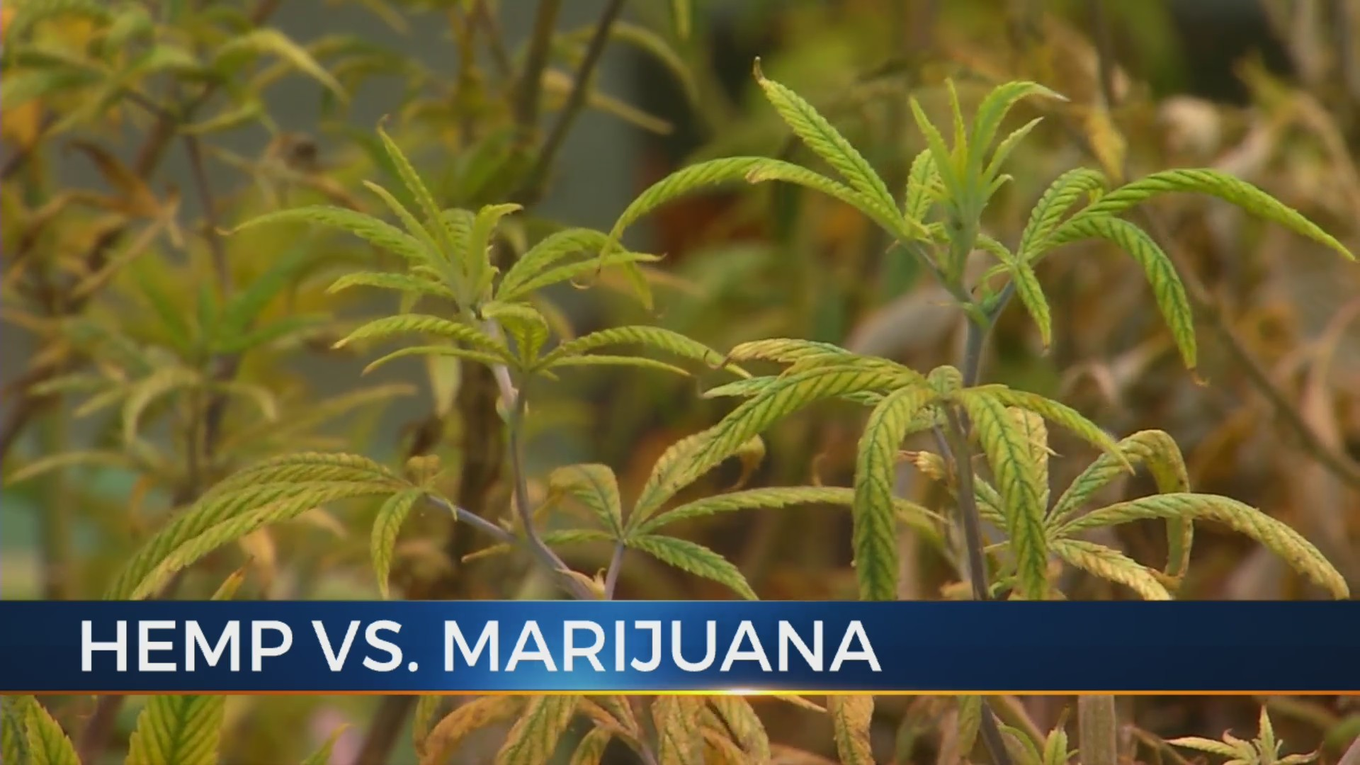 The_differences_between_hemp_and_marijua_0_20190129225545